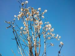 006cime arbres en fleurs paillon.jpg